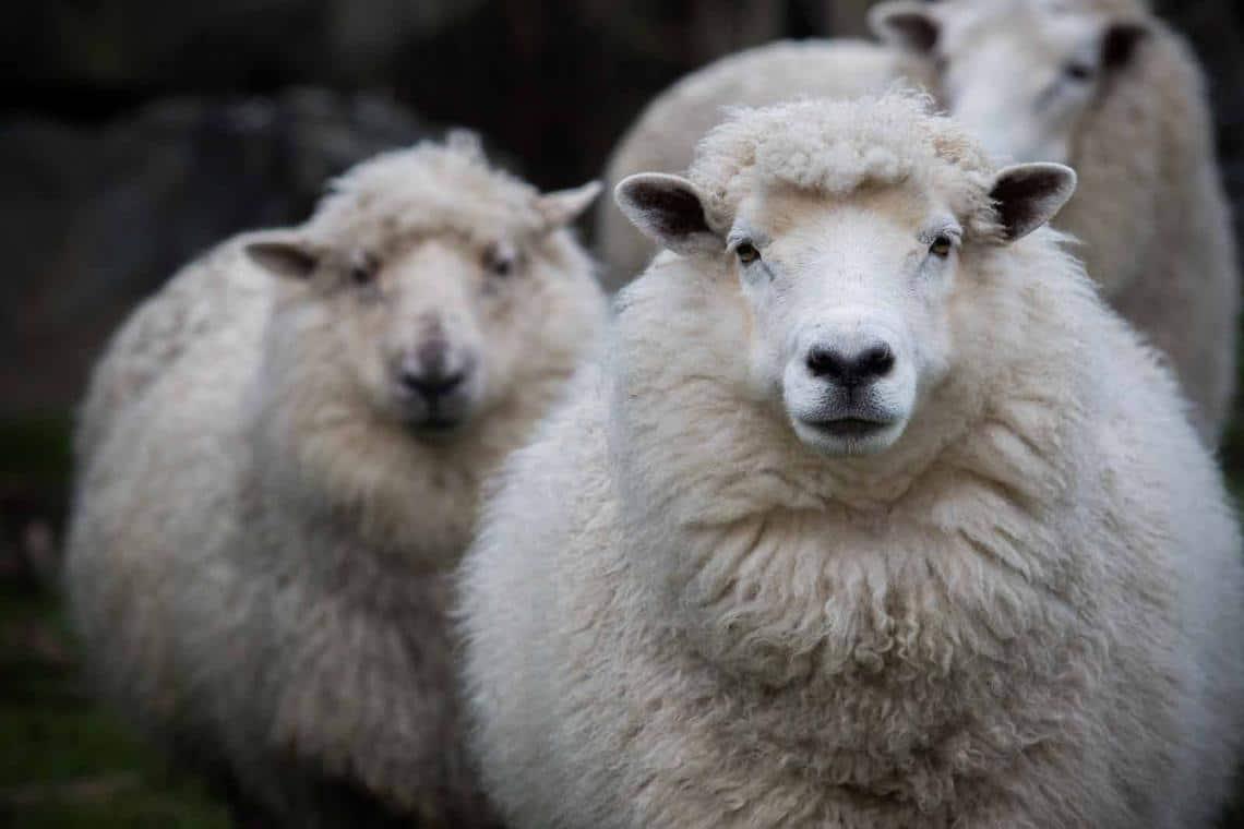 Merino plemeno ovce