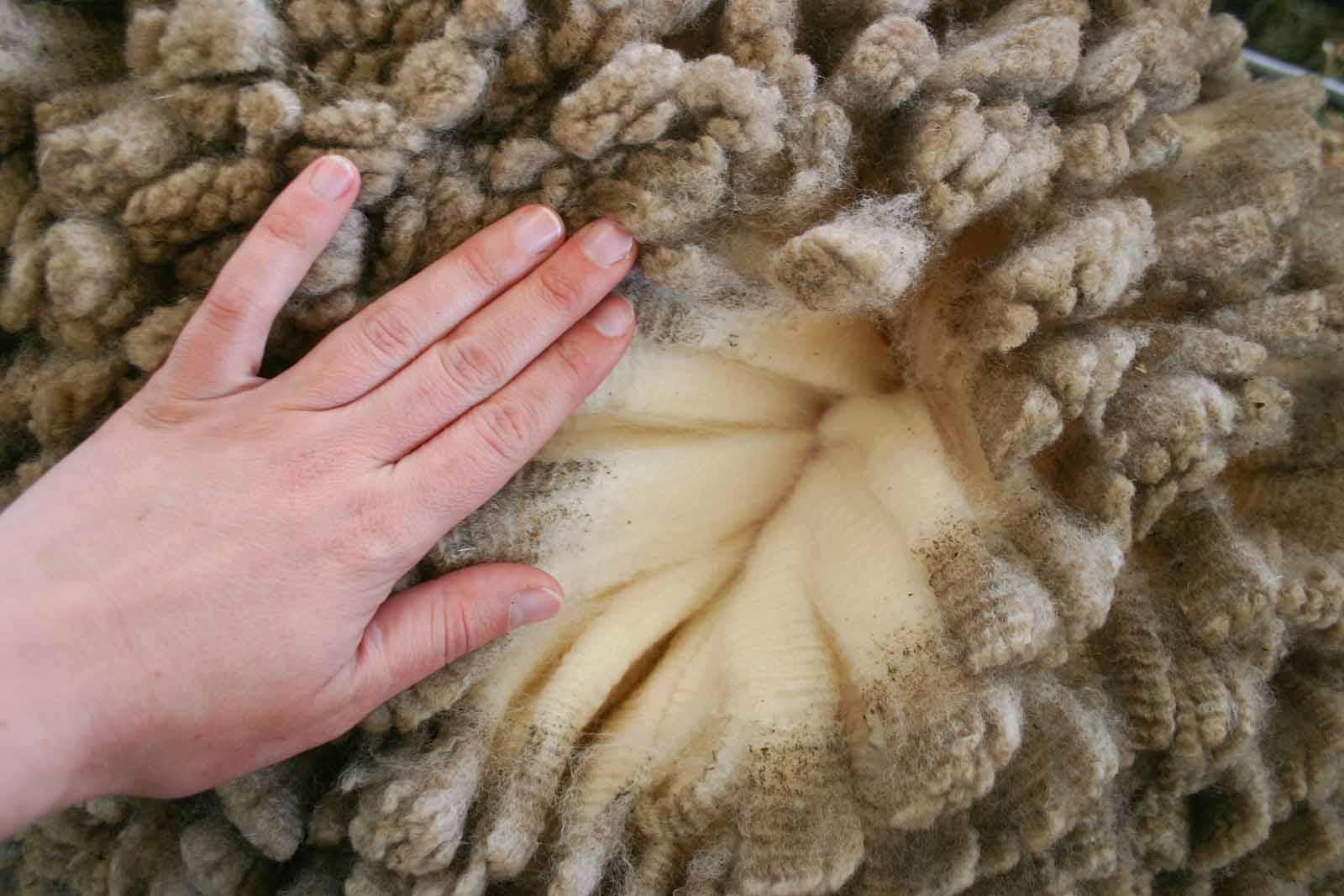 Detail na strukturovanou srst ovce merino